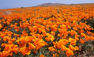 Poppy Fields at Antelope Valley