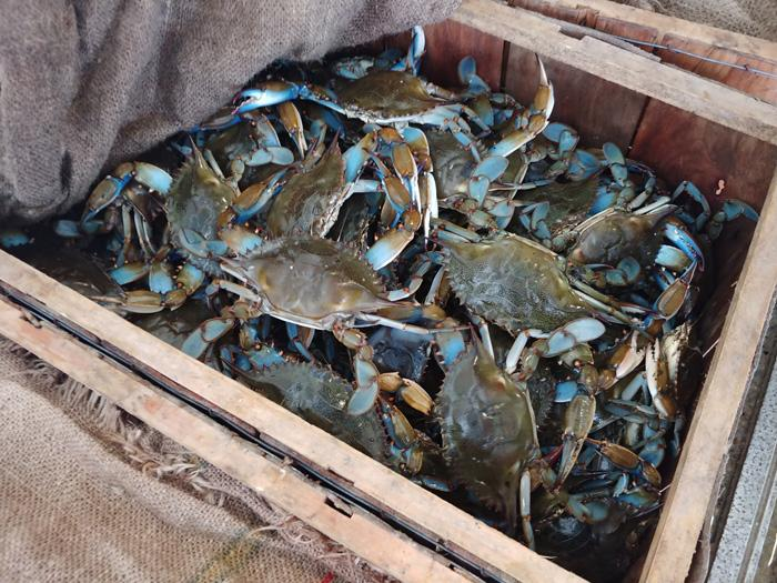 live blue crab from florida peace river seafood punta gorda
