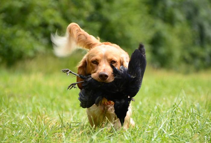 retriever hunting dog with bird in mouth