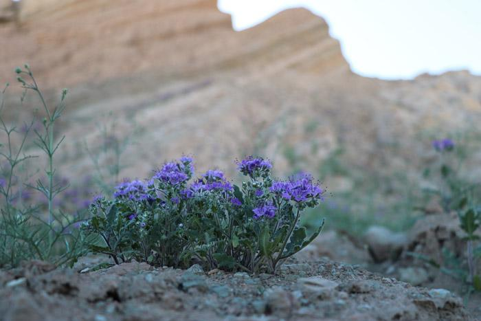 desert wild flowers in box canyon mecca hills