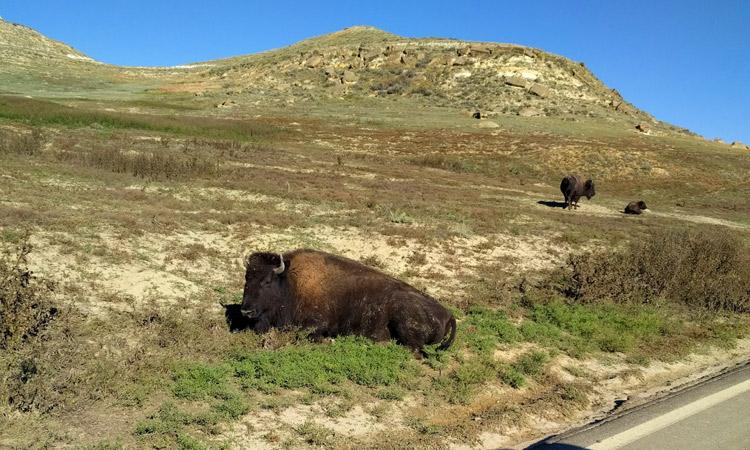 buffalo teddy roosevelt national park north dakota
