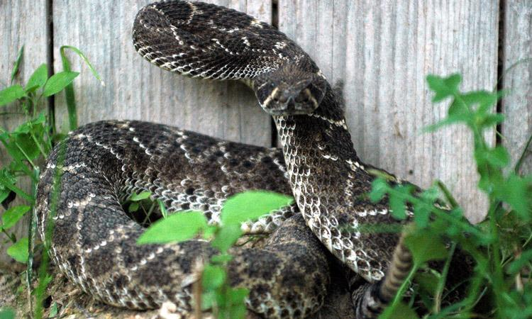 rattlesnake in yard by fence