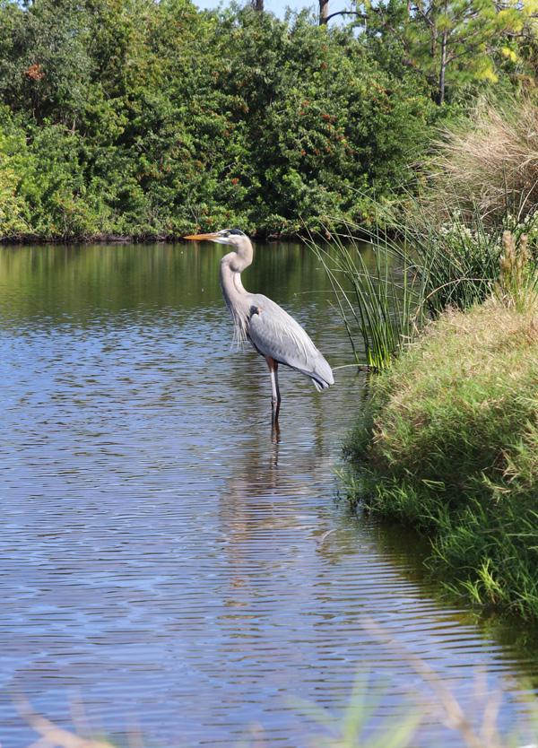 heron in pond on golf course