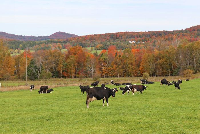 vermont cows with fall leaves