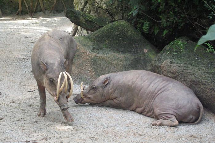 babirusa is named because it can be described as a cross between deer and pig in indonesian