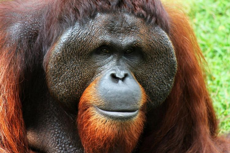 orangutan is native to indonesia and lives in the lush forests