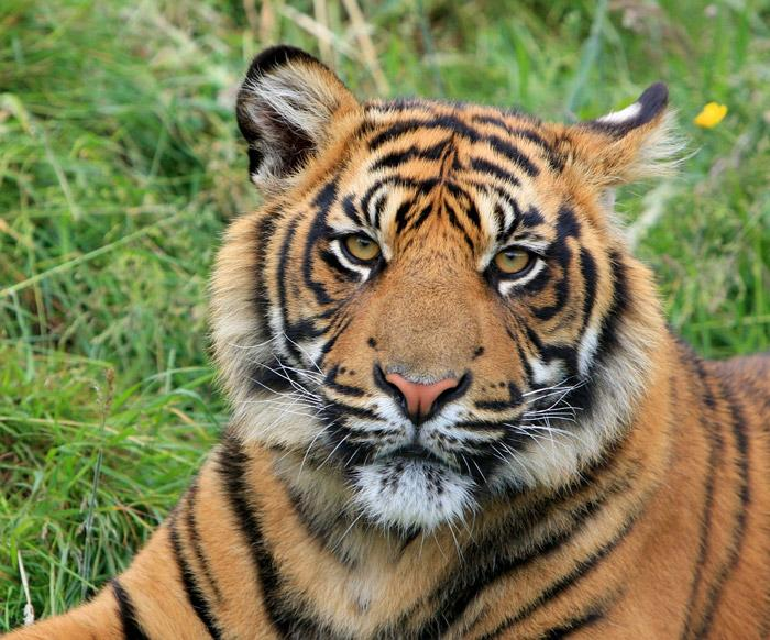 sumatran tiger is native to the indonesian island of sumatra
