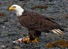 Best Places In America to See Bald Eagles